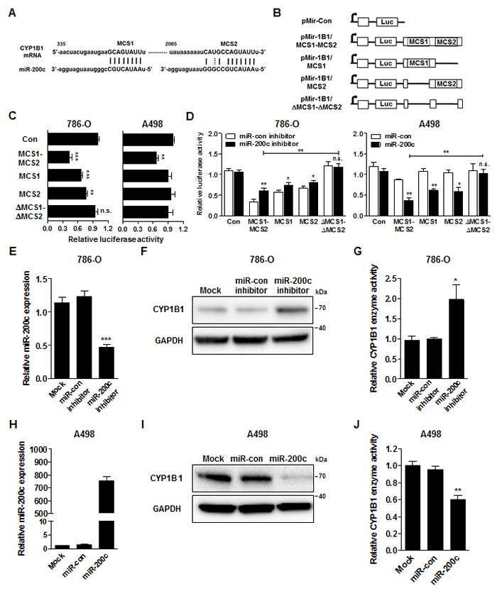 MiR-200c directly targets the CYP1B1 3'-UTR.