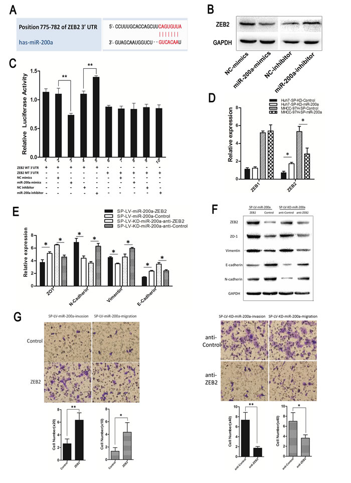 MiR-200a induces the metastasis of SP cells through the transactivation of ZEB2 expression.