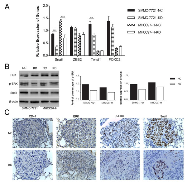 Fig.5: Knockdown of CD44 induced the MET in SMMC-7721 and MHCC97-H cells by repressing the ERK/Snail pathway.