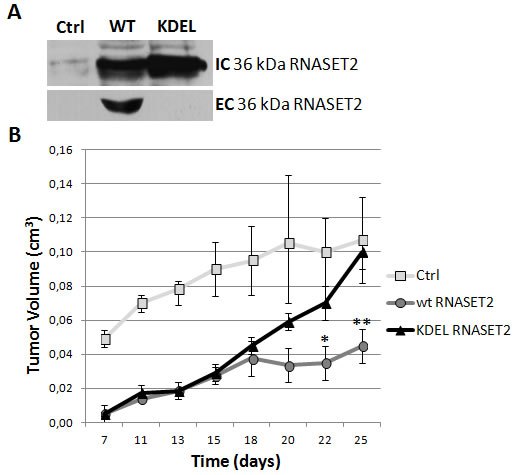 RNASET2 secretion is required for