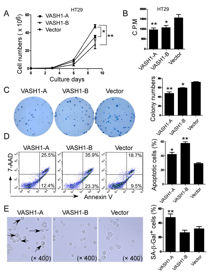 Overexpression of VASH1 in colon cancer HT29 cells significantly inhibits cancer cell growth, proliferation and colony formation.