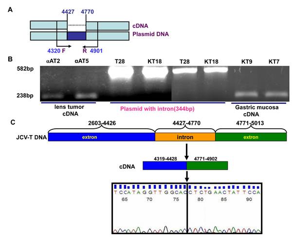 No cell specificity of alternative splicing of JCV T antigen.