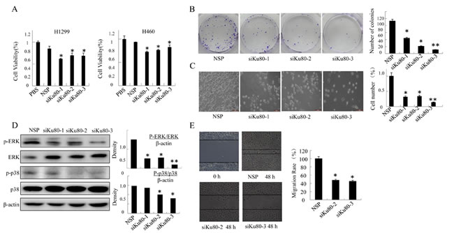 Ku80 regulated the growth of lung cancer cells by inhibiting MAPK pathways.