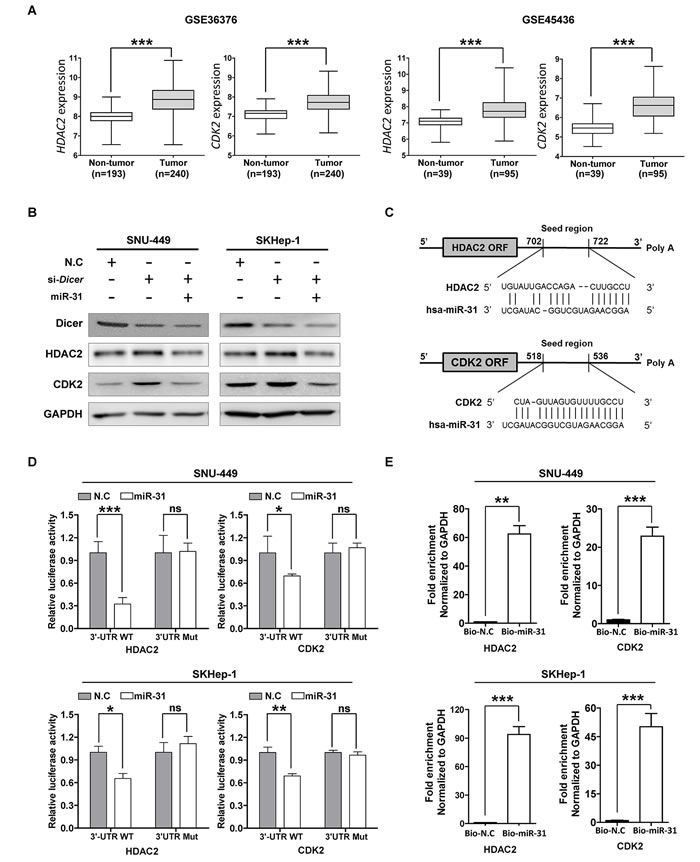 MiR-31 regulates HDAC2 and CDK2 expression by binding 3'-UTR in hepatocellular carcinoma.