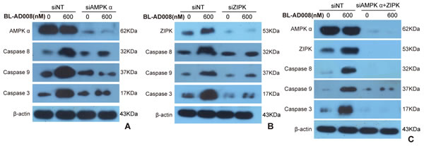 BL-AD008 induces apoptosis by targeting AMPK and ZIPK.