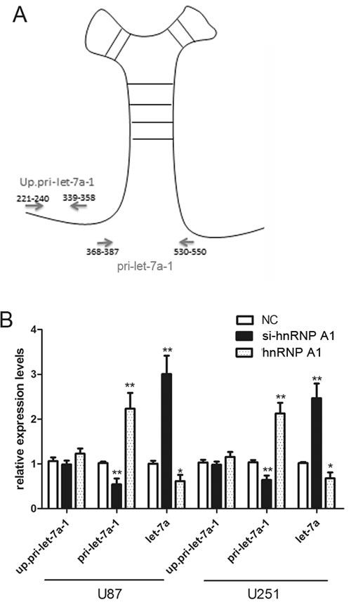 HnRNPA1 can act as a repressor of let-7a biogenesis in glioma cells.