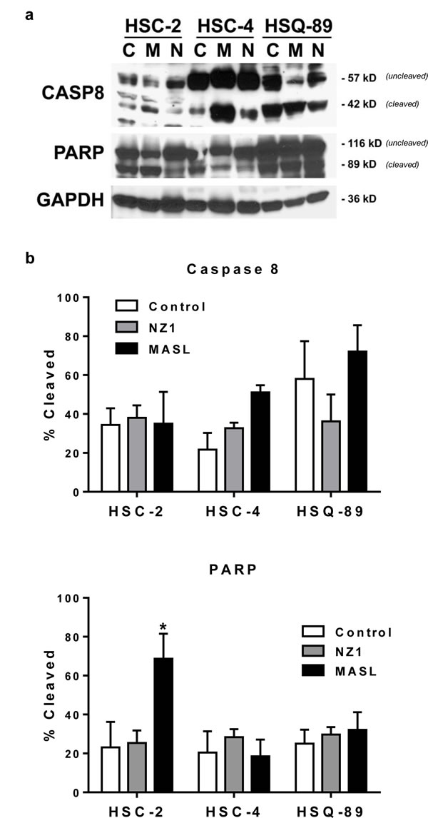 NZ-1 and MASL do not induce caspase or PARP cleavage in OSCC cells.