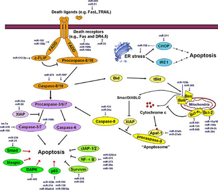 miRNAs regulate the major apoptosis pathways.