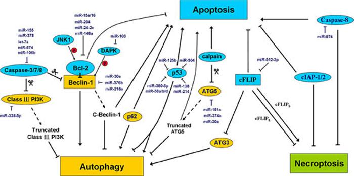 MiRNAs regulate the crosstalk between apoptosis, autophagy, and necroptosis.