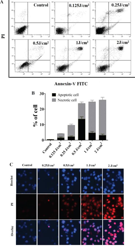 Death of PECA cells after ALA-PDT.