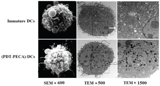 Morphology of DCs detected by scanning electron microscopy (SEM) and transmission electron microscopy (TEM).