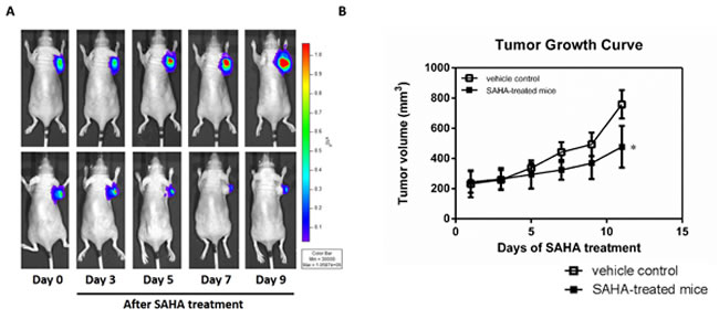 SAHA effectively inhibits the growth of H1299 tumor cells.