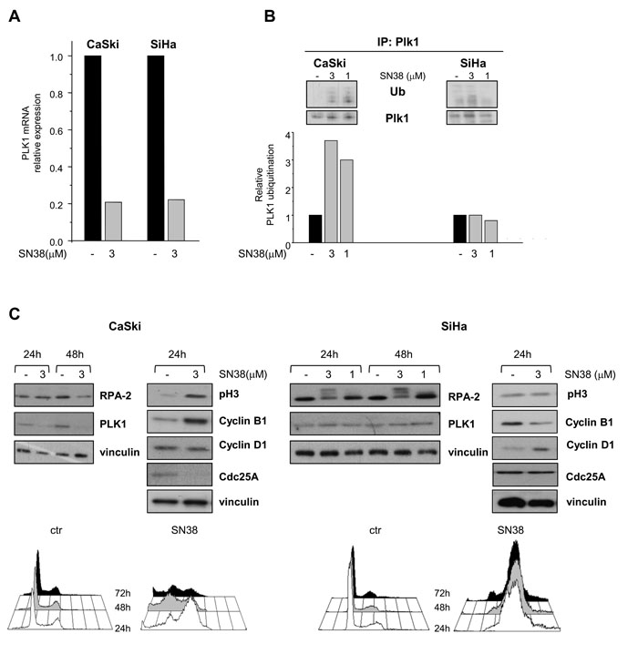 Effects of SN38 treatment on PLK1 transcription and ubiquitination and on cell cycle distribution in SCC cell lines.