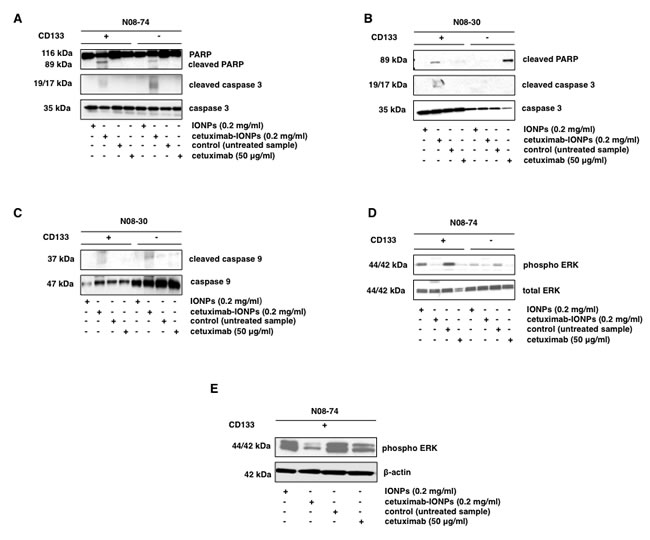 Apoptosis studies and cell signaling in human GSCs after treatment with cetuximab-IONPs.