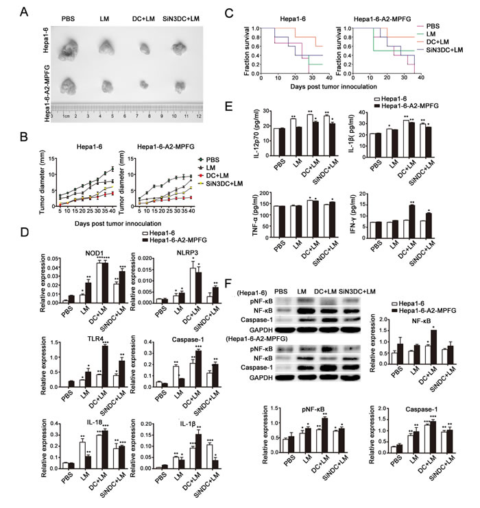 Fig. 4: Combined treatment with DCs and LM immunization plays a role in tumor suppression