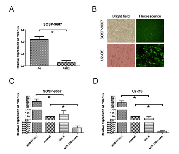 miR-195 expression and miR-195 oligonucleotides transfection in osteosarcoma cells.
