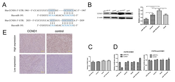MiR-195 may target CCND1 in osteosarcoma.