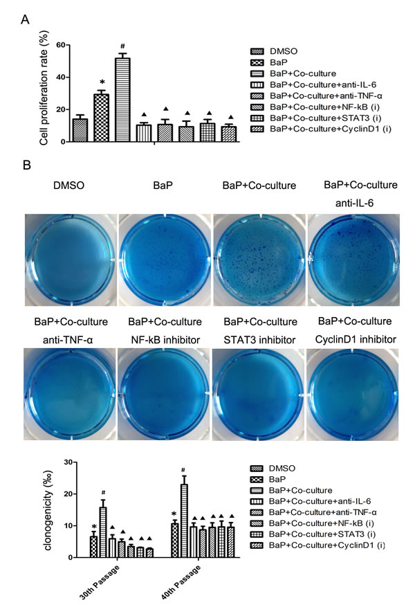 Cell proliferation and colony formation data on human bronchial epithelial cells after BaP treatment.