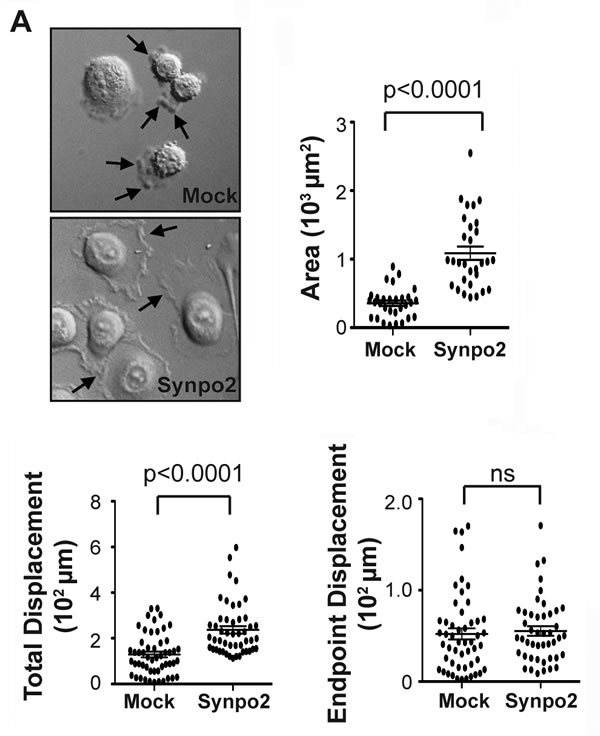 Synpo2 promotes random membrane protrusions and non-directional cell migration.