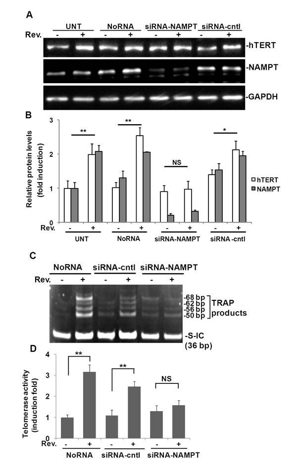 Fig.3: Resveratrol (Rev.)-induced hTERT and telomerase activity in ASM cells requires NAMPT.