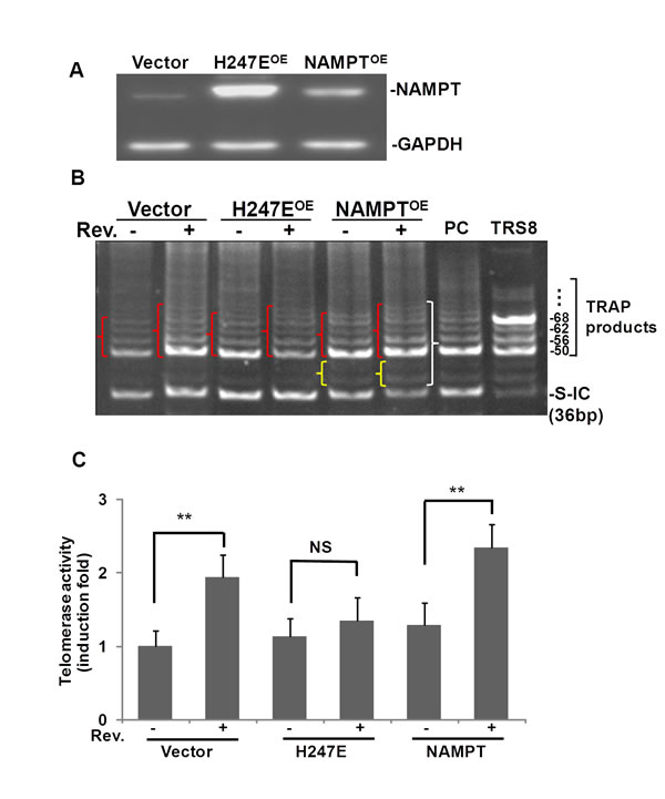 Fig.4: Overexpression of NAMPT, not NAMPPT-H247E elevated Rev-induced hTERT in A549 cells.