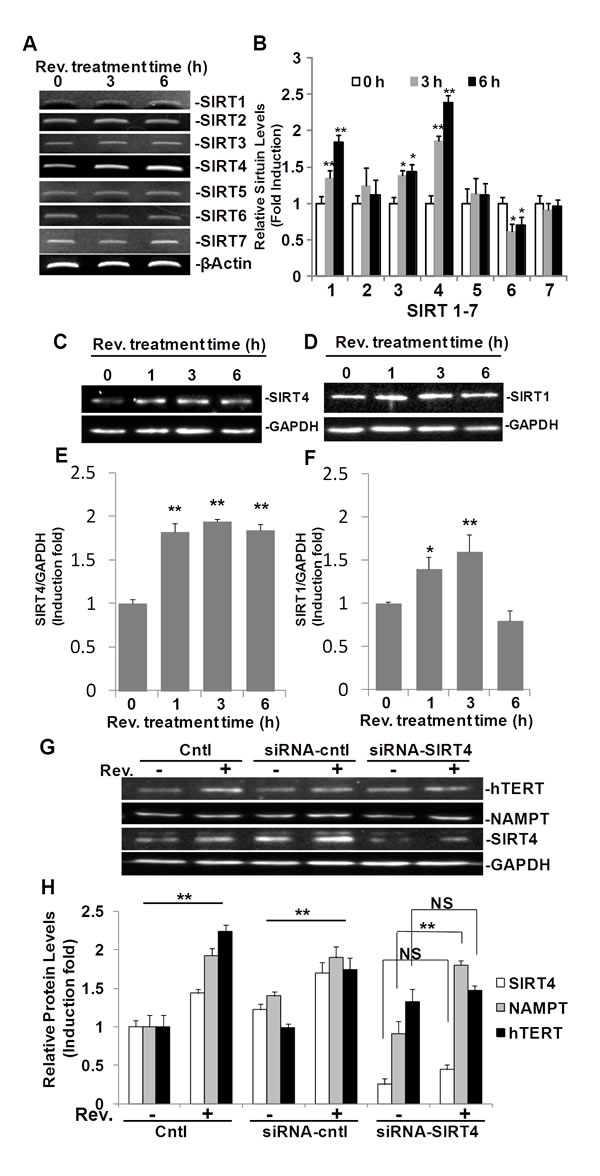 Fig.5: SIRT4 is regulated by resveratrol and is required in resveratrol-induced hTERT in ASM cells.