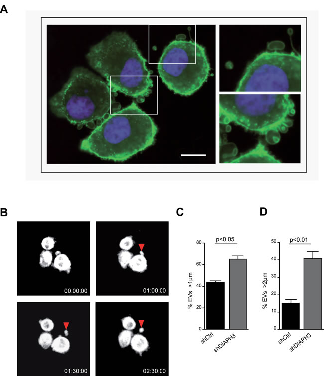 Silencing of DIAPH3 results in increased shedding of large EVs.