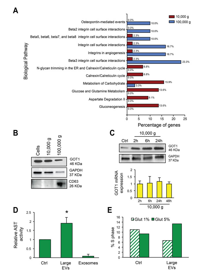Large EVs are enriched in vesicular markers and alter glutamine metabolism in recipient cells.