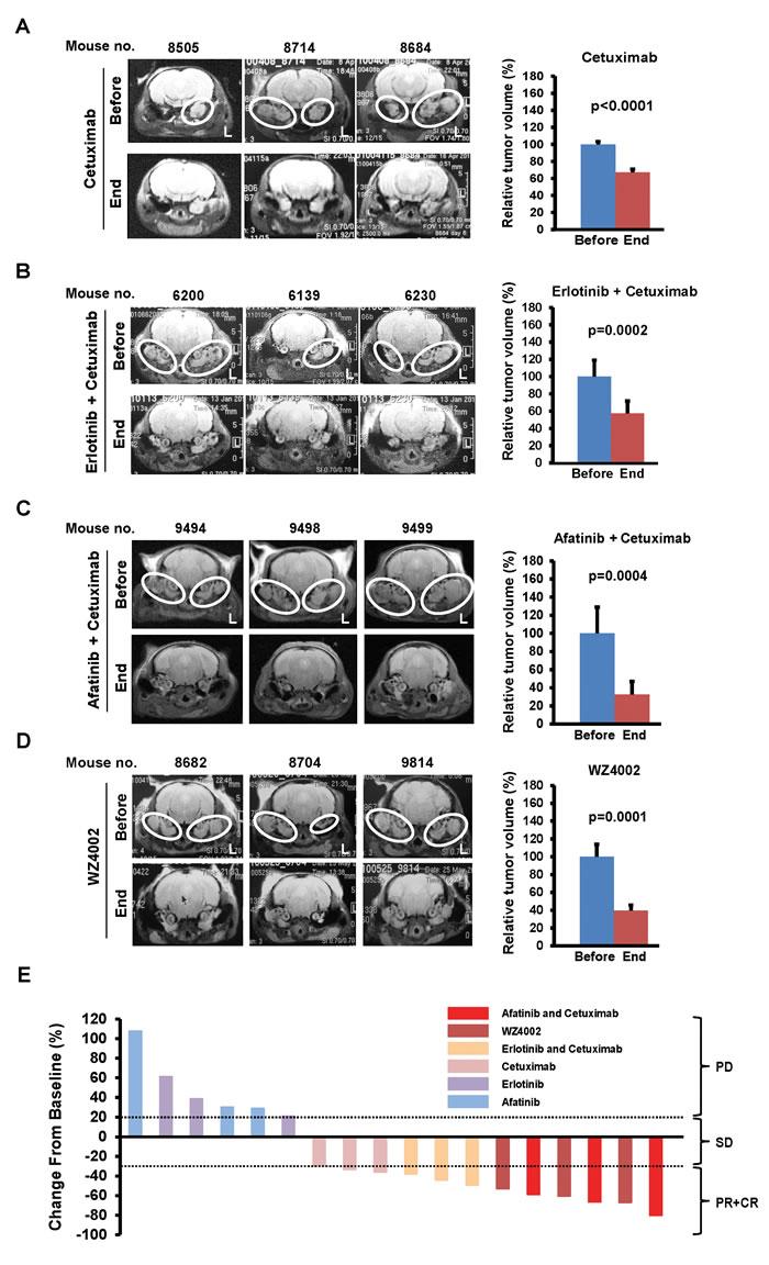 Regression of ear tumors by EGFR inhibitors.