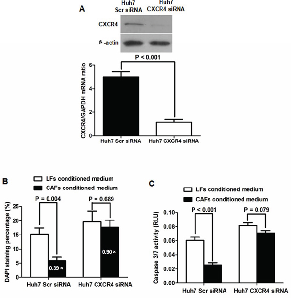 The SDF-1/CXCR4 axis is critical for maintaining the inhibitory effects of CAFs on HCC cells.
