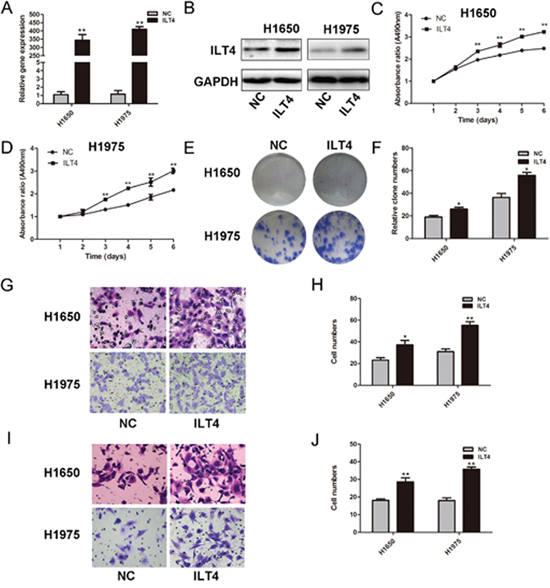 ILT4 significantly promotes cell proliferation and motility of NSCLC cell lines.