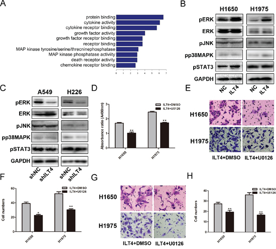 Activation of ERK1/2 involves in ILT4-driven NSCLC cell growth and motility.
