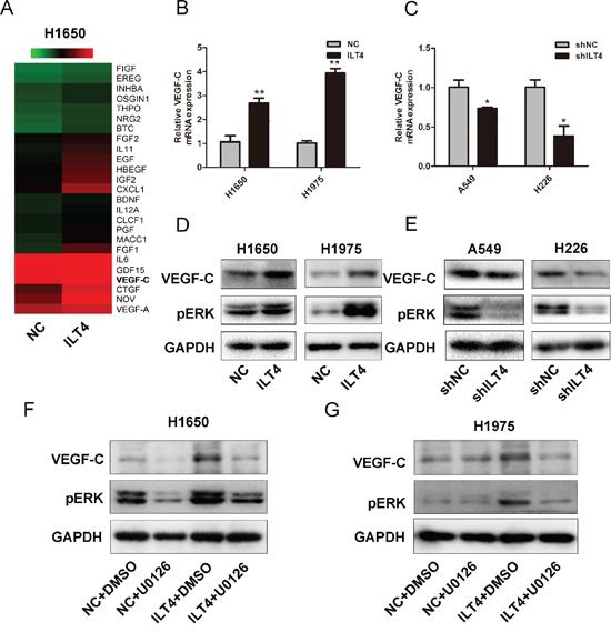 ILT4 up-regulates VEGF-C expression through ERK1/2 activation in NSCLC cells.