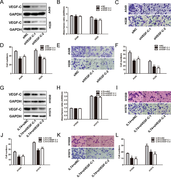 VEGF-C involves in ILT4-driven NSCLC cell migration and invasion.
