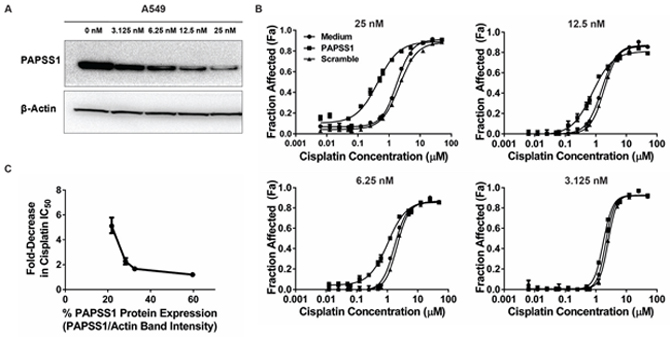 Cisplatin potentiation is dependent on the level of PAPSS1 silencing.