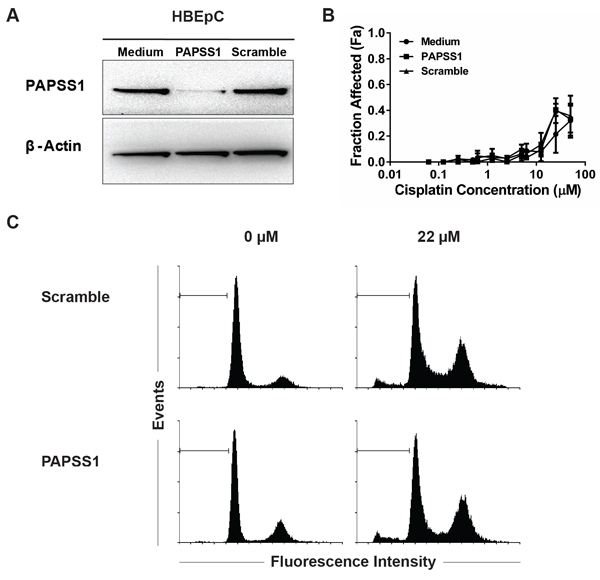 PAPSS1 silencing does not enhance cisplatin activity in HBEpC normal airway cells.