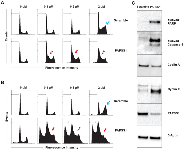 PAPSS1 knockdown in combination with cisplatin induces G1/S-phase arrest and produces high rates of apoptosis.