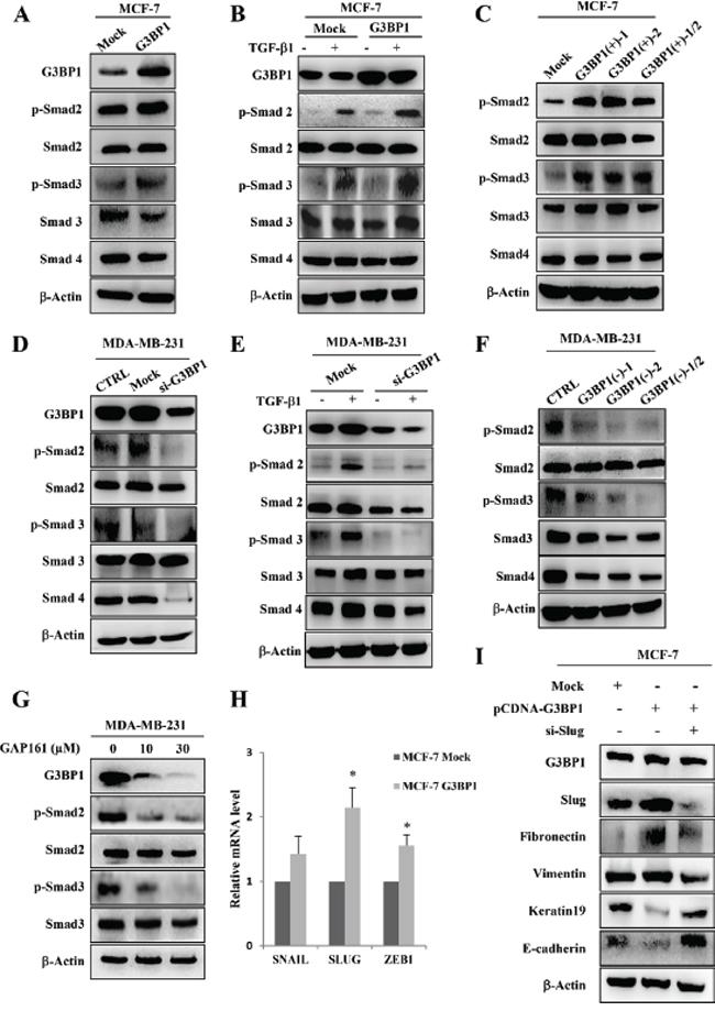 Smads activation and Slug upregulation mediate G3BP1-induced EMT.