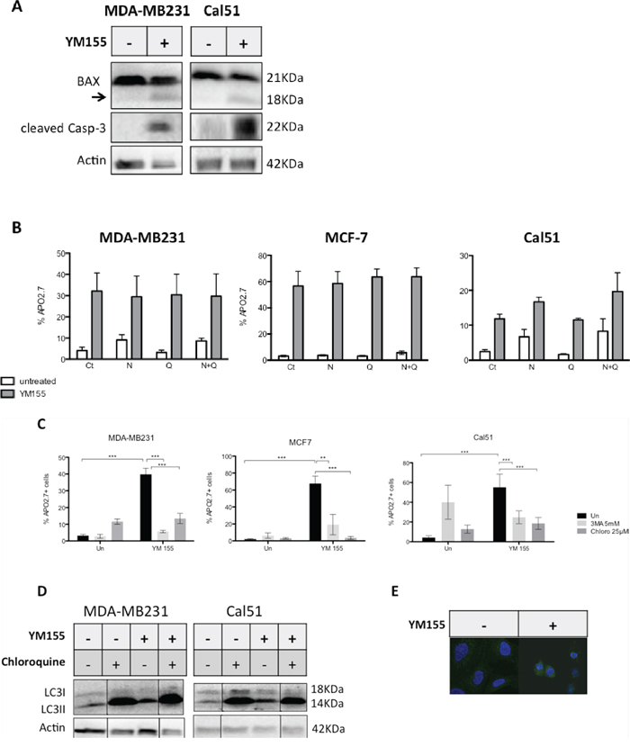 YM155 triggers an autophagy-dependent cell death pathway in breast cancer cells.