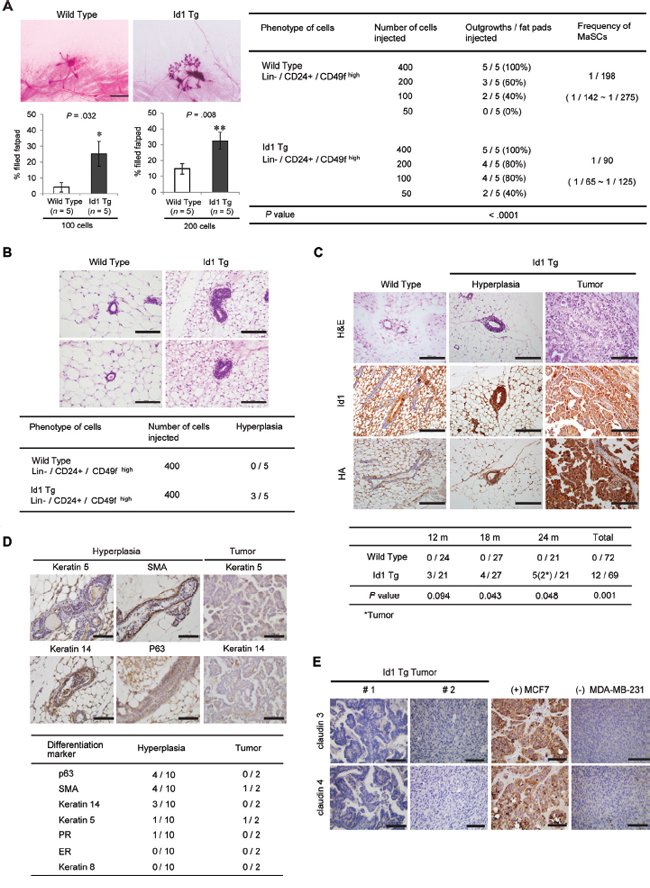 Development of ductal hyperplasia and mammary tumors with positive basal markers in MMTV-Id1 transgenic mice.