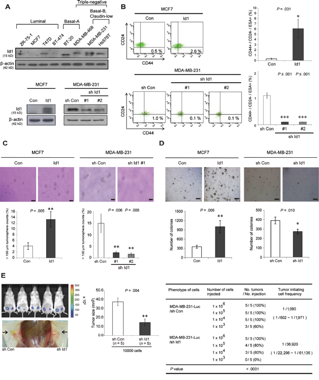 Id1 enhances the stemness of breast cancer stem cells.
