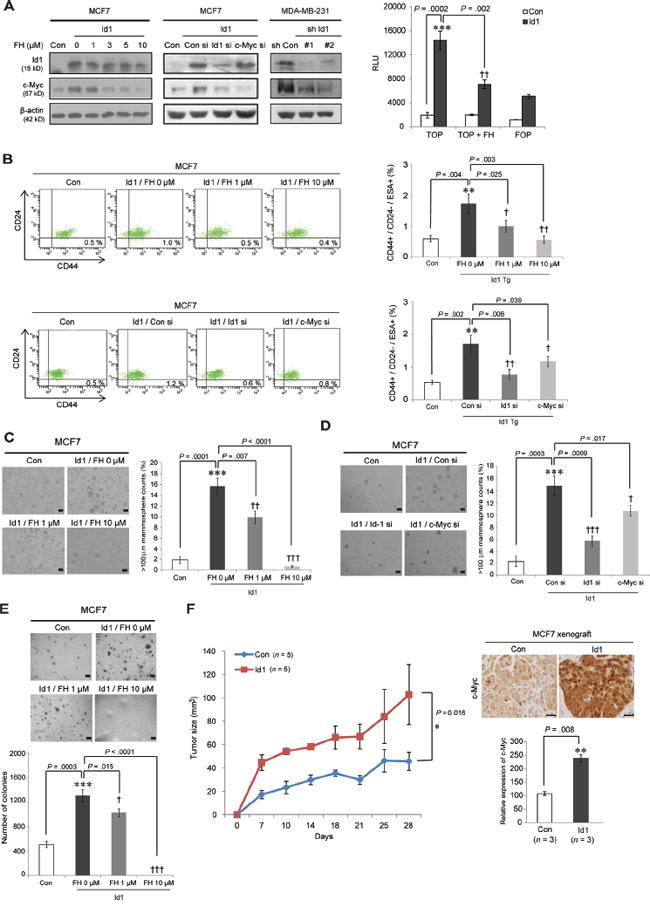 Id1 enhances breast cancer stem cell activity via Wnt/TCF signaling-mediated c-Myc regulation.
