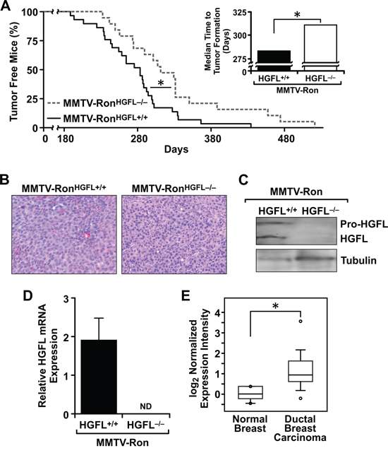 Mammary tumorigenesis is significantly delayed and metastasis reduced in MMTV-RonHGFL−/− mice.