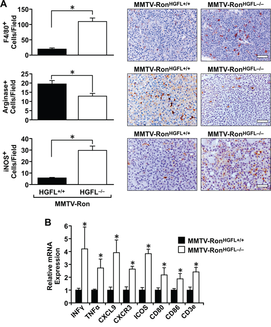 MMTV-RonHGFL−/− mice have an altered tumor microenvironment.