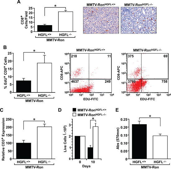 CD8+ T-cells are more abundant and display enhanced cytotoxic activities in MMTV-RonHGFL−/− mice.