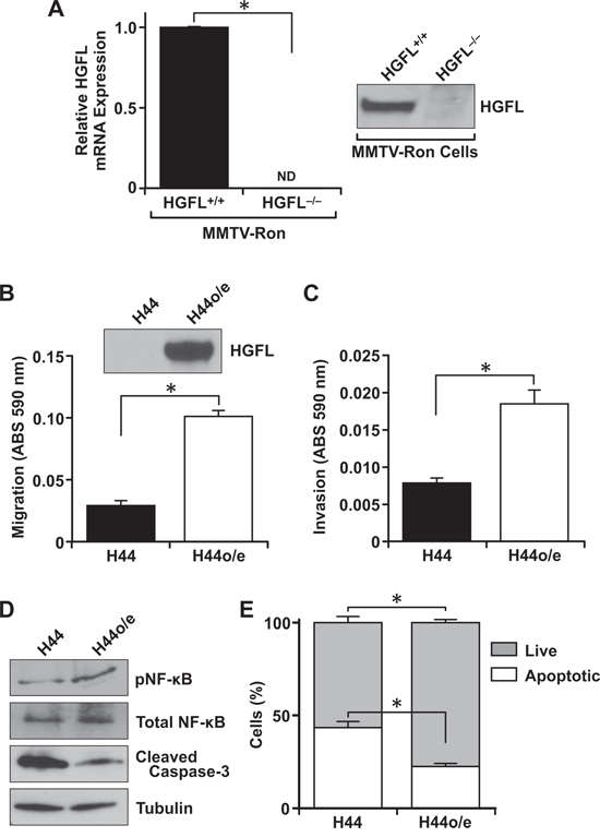 Tumor cell autonomous HGFL expression is important for mammary tumor cell migration, invasion and survival.