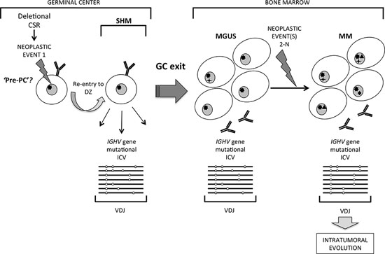 A distinct pathway of clonal evolution in MGUS and MM originating from a germinal center B cell undergoing somatic hypermutation.