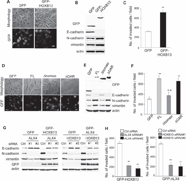 Exogenous expression of HOXB13 and ALX4 promote EMT.