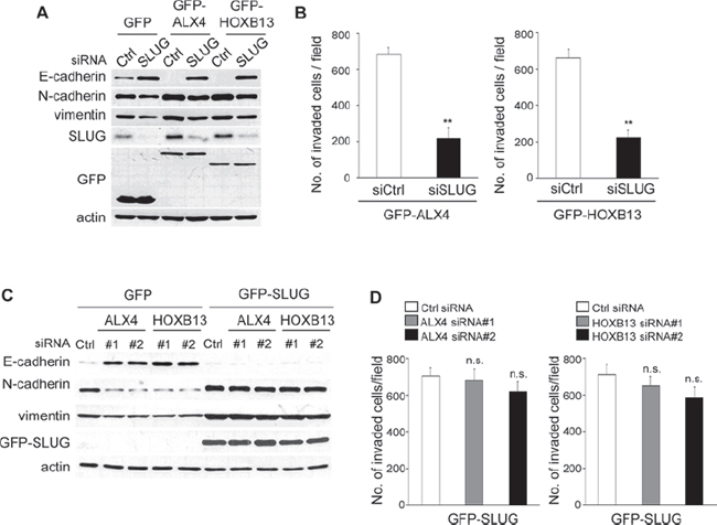 SLUG expression is critical for ALX4- and HOXB13-mediated EMT and cell invasion.