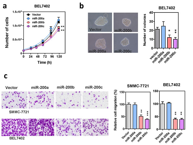 Effects of the miR-200 family on HCC cell growth and migration.